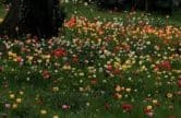 Dunsborough Park Tulip Extravaganza